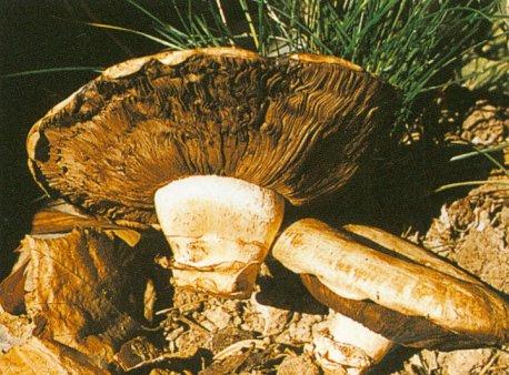 蘑菇的菌褶的显微结构