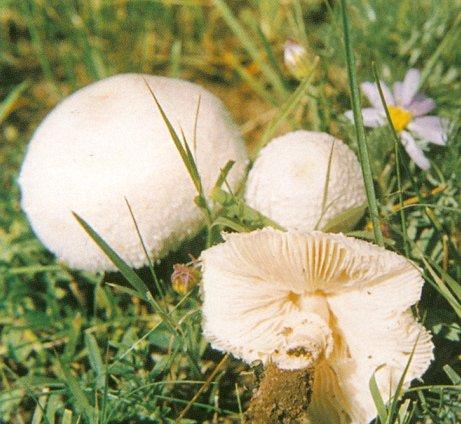 孢子菇植物图片